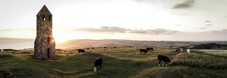 A panoramic view of cattle grazing. Niton, England, UK - 31 July 32016. A panormaic view of cattle grazing  at sundown by St. Catherine's Oratory on the Isle of Royalty Free Stock Photography
