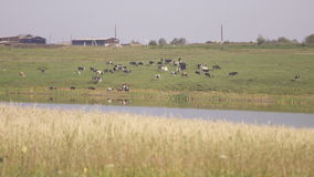 Panoramic view of cattle grazing on pond side. stock footage