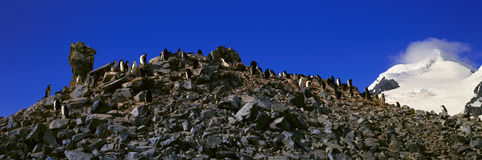 Panoramic view of Chinstrap penguins (Pygoscelis antarctica) among rock formations on Half Moon Island, Bransfield Strait, Antarct Royalty Free Stock Image