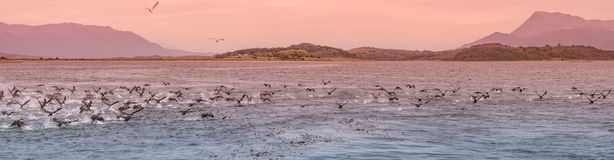 Panoramic view of colony of king cormorants at Beagle Channel, P. Atagonia, Tierra del Fuego National Park, summer time, at sunset Royalty Free Stock Image