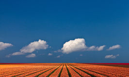 Panoramic view of a colorful field with tulips. A ray of sunlight strikes over a colorful field of tulips. Panoramic view Stock Photo
