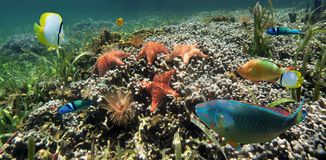 Panoramic view on a coral reef with starfish Royalty Free Stock Photo