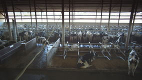 Panoramic view of cow farm stock video footage