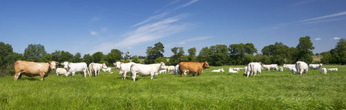 Panoramic view of cows Stock Photo