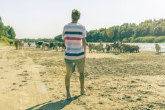 Panoramic view of cows herd walk in the summer sandy field near the river beach a royalty free stock photography