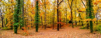 Panoramic view of deciduous forest at golden Autumn in Germany,. Panoramic view of deciduous forest at golden Autumn in Germany royalty free stock image