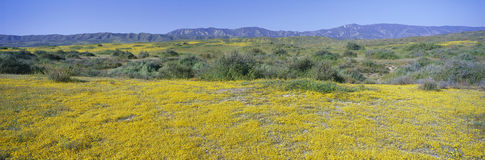 Panoramic view of Desert Gold yellow flowers in Carrizo Plain National Monument, San Luis Obispo County, California Stock Photography