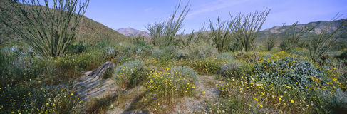 Panoramic view of Desert Lillies, Ocotillo and flowers in spring fields of Coyote Canyon in Anza-Borrego Desert State Park, Califo Royalty Free Stock Photos