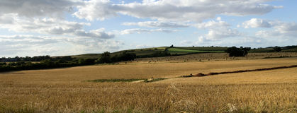 Panoramic View of a english straw field. In somerset , late afternoon Royalty Free Stock Image