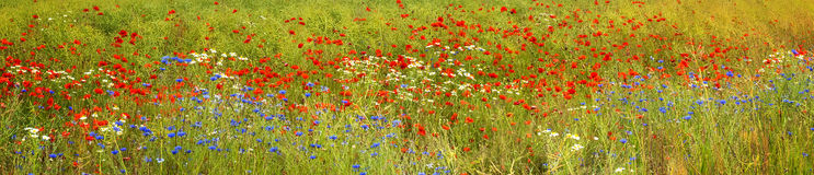 Panoramic view on field with blossoming wild flowers Royalty Free Stock Image