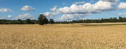 Panoramic view on field of ripening cereals Royalty Free Stock Photo