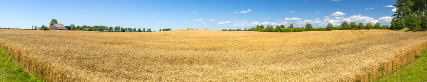 Panoramic view on field with ripening wheat Stock Photos