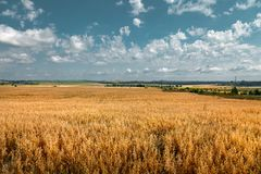 Panoramic view of the field, sowed by cereal cultures. Which removes the combine on a distance shot royalty free stock photo
