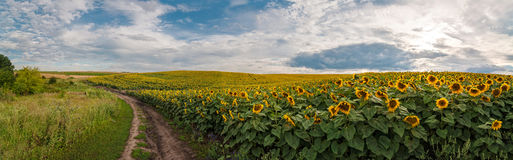 Panoramic view with a field of sunflowers with dirt road Stock Photography