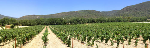 Panoramic view of a field of vines in Luberon - Provence - France Royalty Free Stock Image