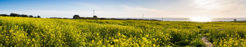Panoramic view of fields of wild mustard on the Pacific Ocean coastline close to Half Moon Bay, California royalty free stock image