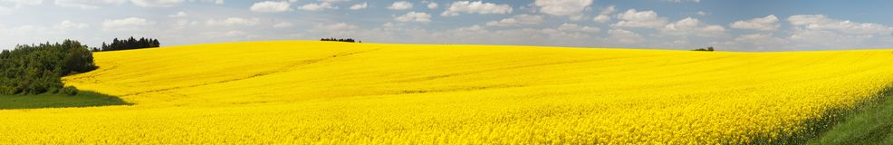 Panoramic view of flowering field of rapeseed Stock Photos