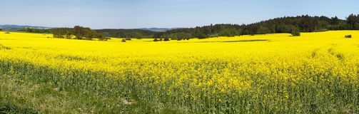Panoramic view of flowering field of rapeseed Stock Image