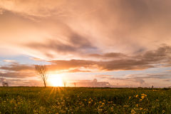 Panoramic view of a flowering  yellow daisy flowers Stock Photos