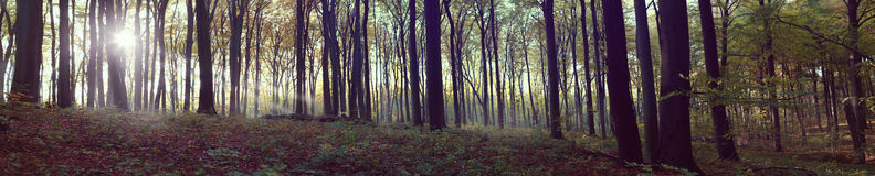 Panoramic view of foggy forest. Mega panoramic view of foggy forest Royalty Free Stock Photography