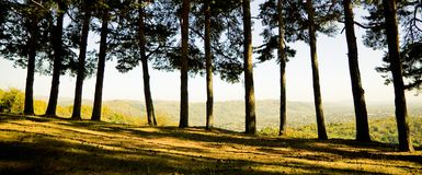 Panoramic view of forest. Line of trees in a forest.  Panormanic shot Royalty Free Stock Photo