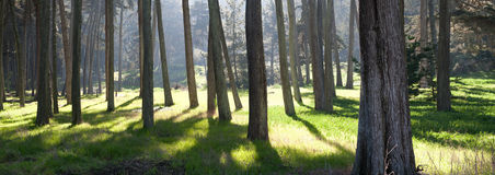 Panoramic view of a forest. A panoramic view of the base of trees in a forest Stock Photo