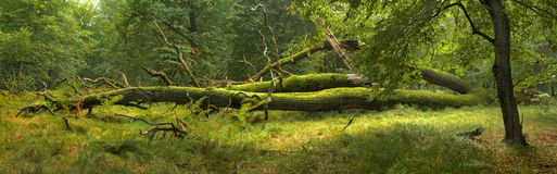 Panoramic view of the forest Royalty Free Stock Image