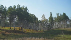 Panoramic view of forest growing in wild nature. Glade located at forest edge is empty, virgin and untouched with green fresh grass waving on wind in some stock footage