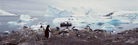 Panoramic view of Gentoo penguins with chicks (Pygoscelis papua), ecological tourists in inflatable Zodiac boat with glaciers and  Stock Images