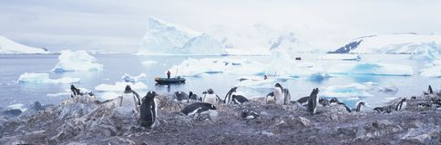 Panoramic view of Gentoo penguins with chicks (Pygoscelis papua), glaciers and icebergs in Paradise Harbor, Antarctica stock photography