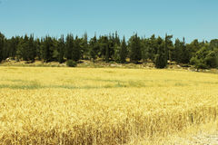 Panoramic view of a golden  weath field. A golden field in Israel Royalty Free Stock Photo