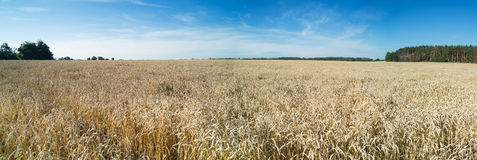 Panoramic view of golden wheat field. Stock Images