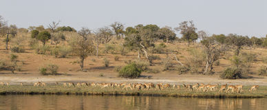 Panoramic View of Grant's gazelles on Choebe River Stock Photo