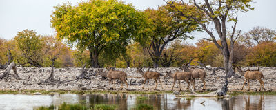 Panoramic view of Greater Kudu herd walking at waterhole Stock Photography