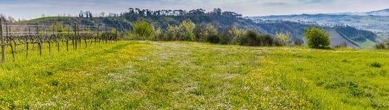 Panoramic view of green grass in vineyard fields stock photo