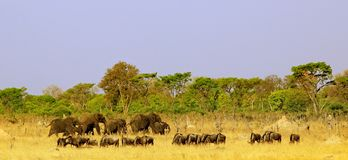 Panoramic view of a herd of elephants and wildebeest grazing on the dry african plains with a pale blue sky and bush background. Landscape of a herd of elephants royalty free stock photos