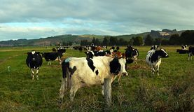 Cows enjoying late afternoon winter sunshine in North Otago, NZ royalty free stock photography