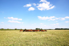 Panoramic view of herd of horses when grazing on meadow. Thoroughbred gidran foals and mares grazing peaceful together on summer meadow Royalty Free Stock Photography