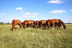 Panoramic view of herd of horses when grazing on meadow. Young anglo arabian mares and foals grazing on the meadow summertime Royalty Free Stock Image