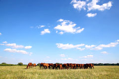 Panoramic view of herd of horses on summer pasture Stock Photography