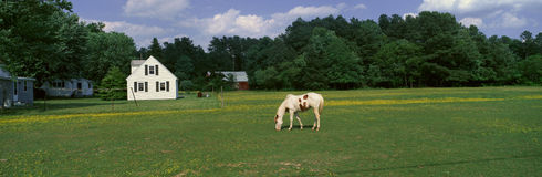 Panoramic view of horses grazing in springtime field, Eastern Shore, MD Royalty Free Stock Photography