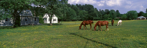 Panoramic view of horses grazing in springtime field, Eastern Shore, MD Stock Photos