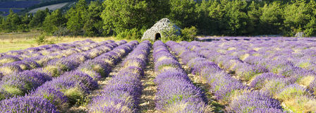 Panoramic view of Lavender field Stock Image