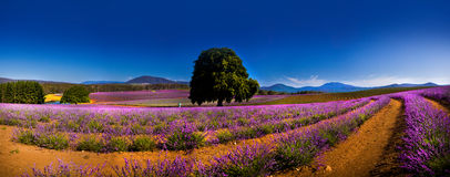 Panoramic view of lavender fields Royalty Free Stock Images
