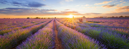 Panoramic view of lavender filed in Valensole at sunset Stock Photography