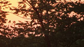 Panoramic view leaves trees on background evening sunset. Golden sunset forest. Panoramic view leaves trees on background evening sunset. Beautiful sunset stock video footage
