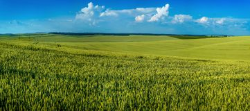 Panoramic view of lines and hills of cereals, farm fields royalty free stock photo