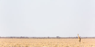 Panoramic view of a Lonely giraffe Royalty Free Stock Images