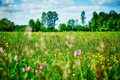Panoramic view of a meadow full of various types of herbs and flowers on a beautiful sunny day. Blossoming meadow full of various types of herbs and flowers in stock images