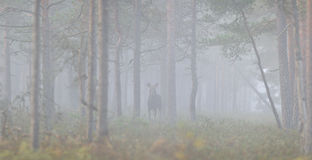 Panoramic view of moose in the mist Royalty Free Stock Image